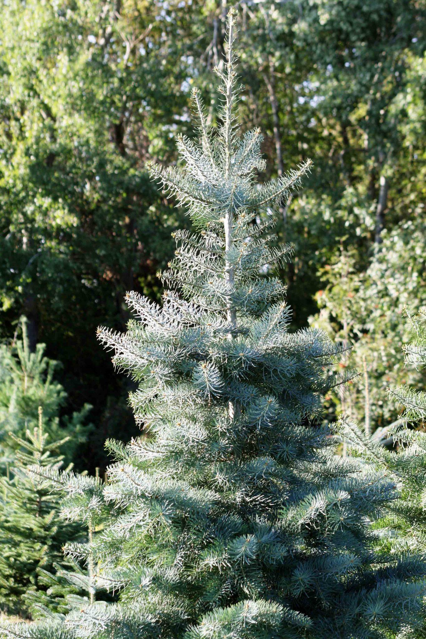 Coloradotanne ganzer Baum_bearbeitet