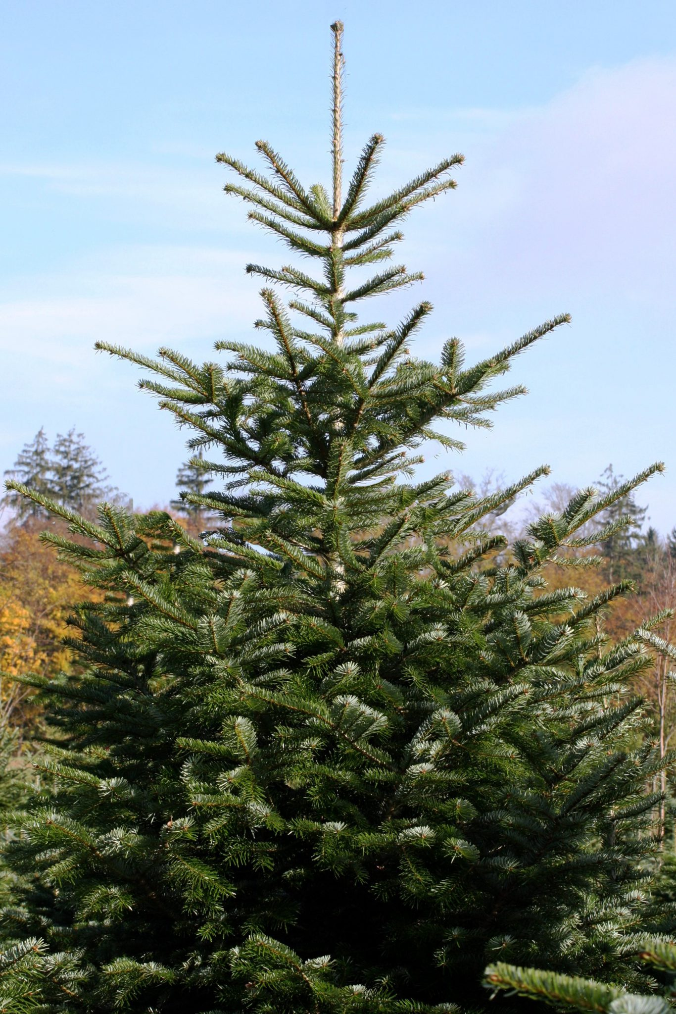 Nordmann ganzer Baum.IMG_8091_bearbeitet