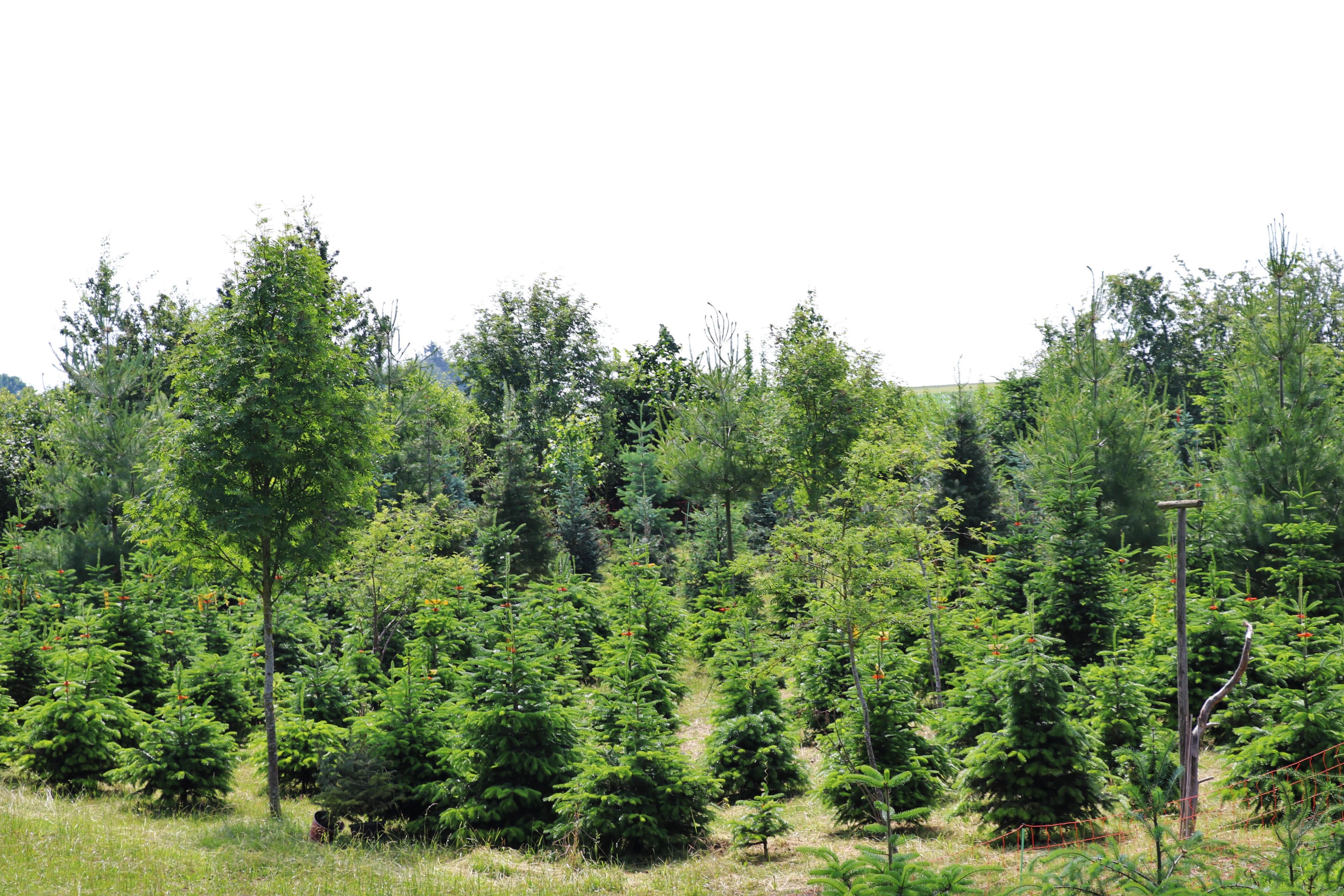 christbäume vom Förster